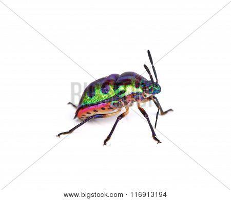 Litchi Bug , Tong Taek Bug, Chrysocoris Stollii On White Background