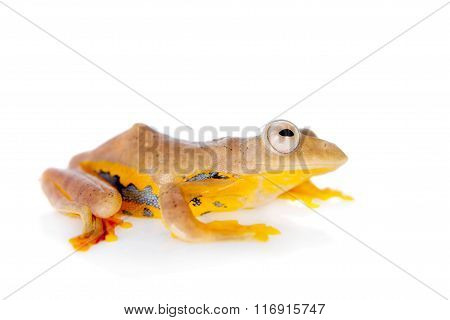 Two-dotted flying tree frog, Rhacophorus rhodopus, on white