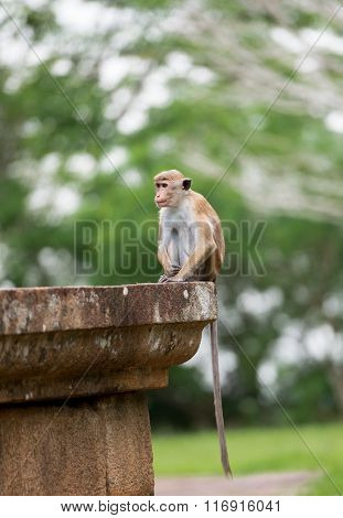 Toque Macaque Monkey Sitting On A Stone Monument In Temple In Sri Lanka