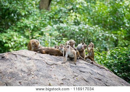 Family Of Toque Macaque Monkeys In Natural Habitat In Sri Lanka