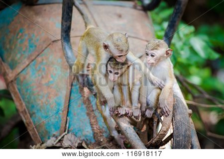 Toque Macaque Monkey Babies Playing On Construction Trolley  In Sri Lanka