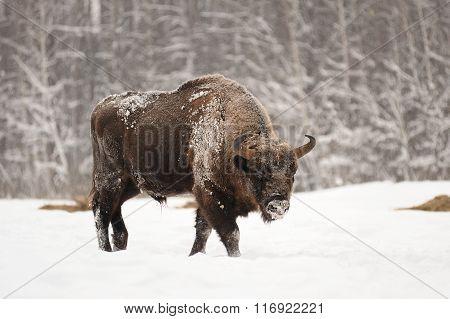 Mature Male European Bison In Deep Snow In Orlovskoye Polesie National Park In Russia