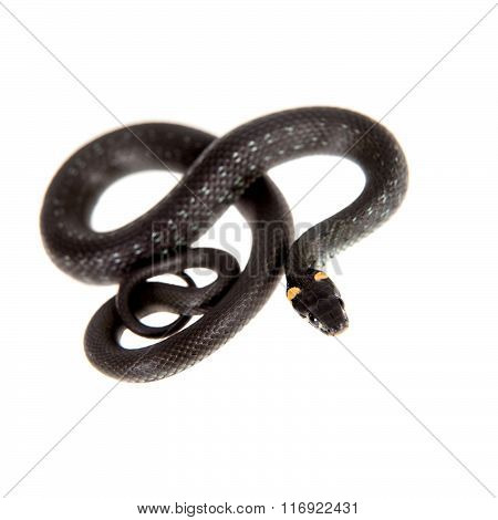 Grass Snake, Natrix natrix, on white