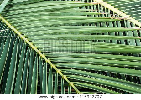 Palm tree leaves. Close up.
