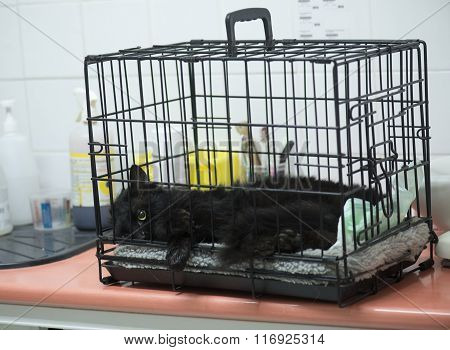 Castration Of A Male Cat