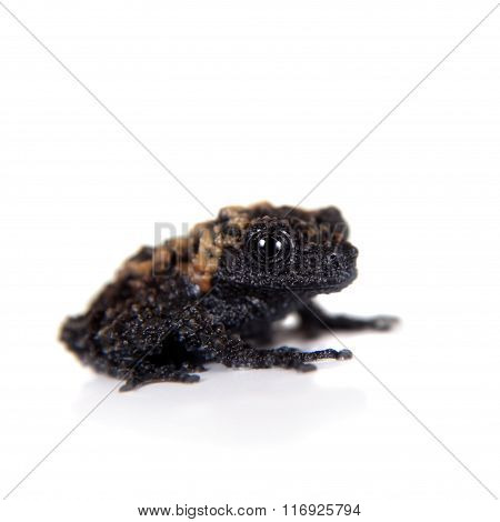 Gordons mossy frog, Theloderma gordoni, on white