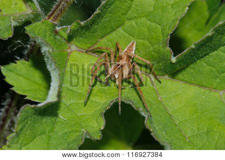 Nursery Web Spider (pisaura Mirabilis)