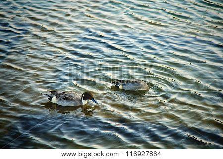 Mallards Or Ducks In Beautiful Lake