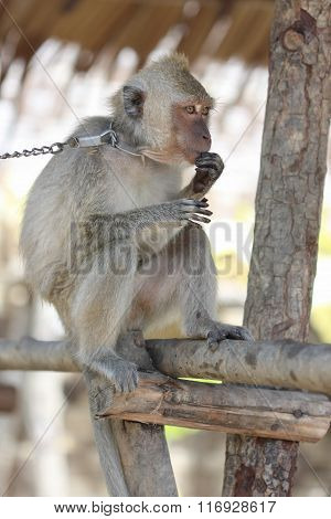 Captured Sad Macaque Monkey On The Chain