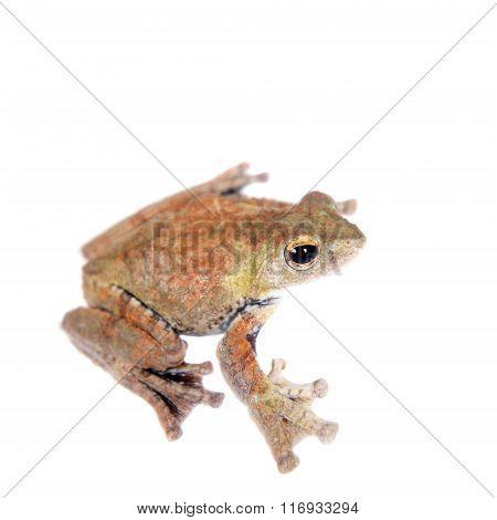 Spinybottom tree frog, rhacophorus execophygus, on white
