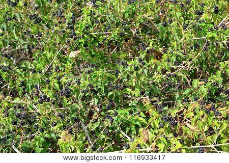 Berry Bush Background.