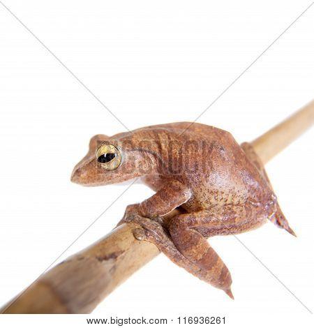 Rhacophorus robertingeri, rare species of flying tree frog on white