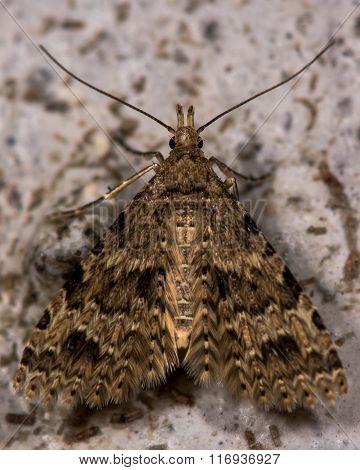 Twenty-plume moth (Alucita hexadactyla)