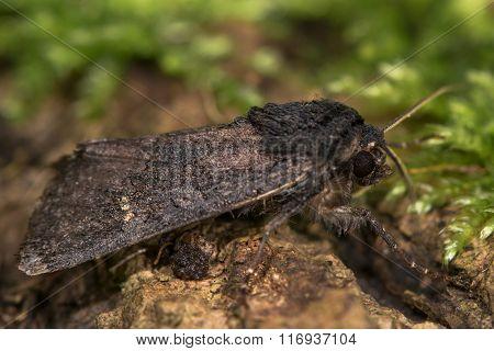 Black rustic (Aporophyla nigra) moth profile