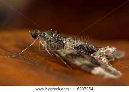 Red-green carpet moth (Chloroclysta siterata) moth