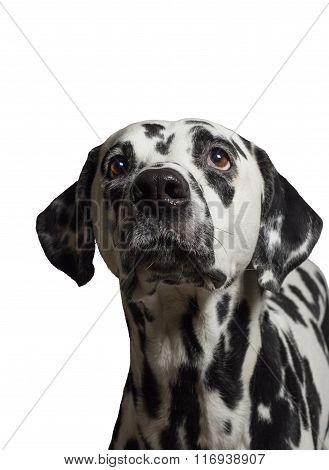 Dalmatian Looking Up