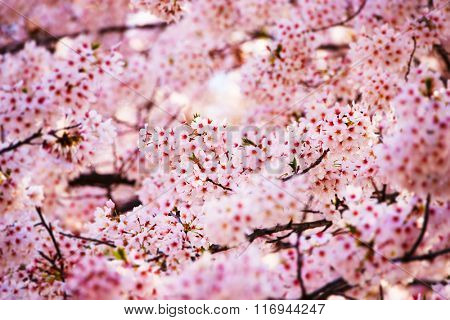 Cherry blossom in full bloom. Ball like clusters of cherry flowers. Shallow depth of field. Intentionally shot in impressional tone.