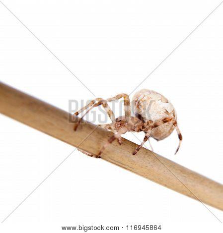 The european garden spider, araneus diadematus, female on white