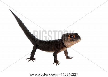 Red-eyed crocodile skinks, tribolonotus gracilis, on white