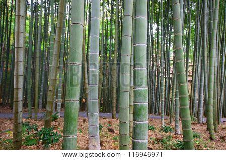 Bamboo Grove At Enkoji Temple In Kyoto