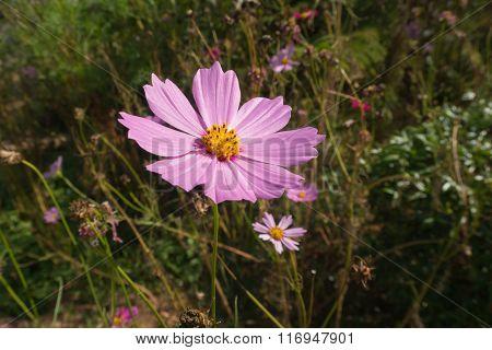 Pink Cosmos Flower Family Fompositae.