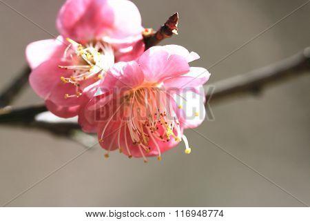 Pink Plum flowers closeup