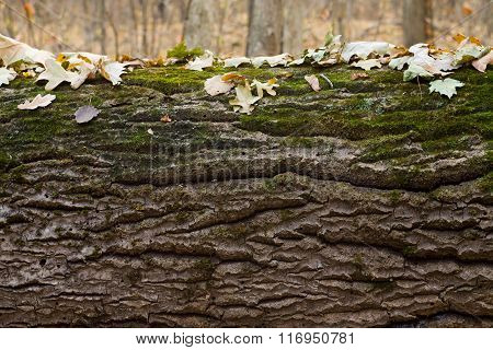 Texture Of Tree Bark Covered With Moss