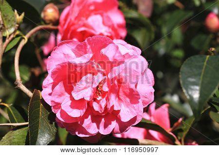 Red Camellia flowers closeup