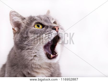 The Head Of The Gray Cat Looking Up, Mewing And Having Widely Opened A Mouth