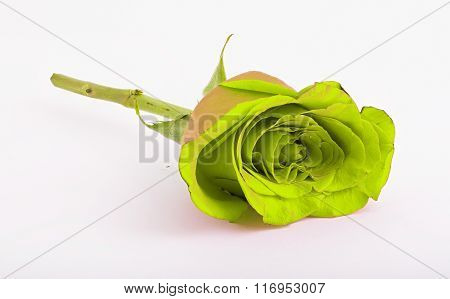 Green Rose On A White Background