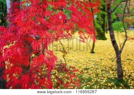 Red Maple Leaves At Eikando Temple In Kyoto