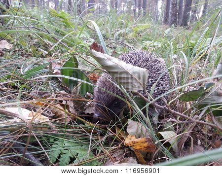 Hedgehog (Erinaceus europaeus L) in Fallen Leaves