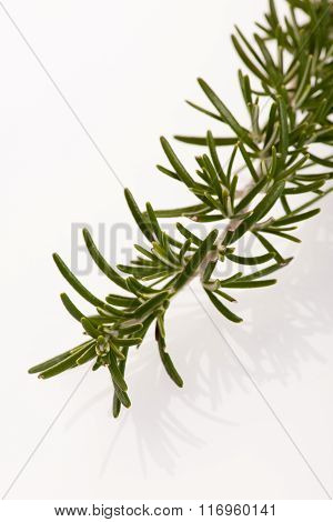 Twig Of Green Fresh Rosemary,mediterranian Spice.