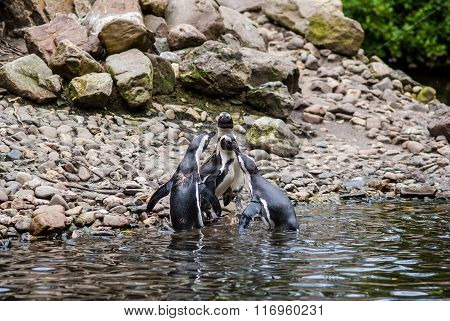 Humboldt Penguins At the Rocks Near The Water