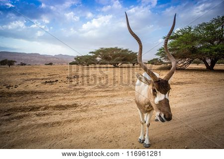 Big Addax Of Middle East