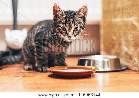 Tabby Kitten Standing Beside Plate With Milk