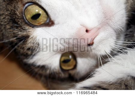 Close up of a cat face with a cute pink nose with beauty mark