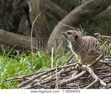 Side View Of Single Meerkat Crouched Down On A Pile Of Branches