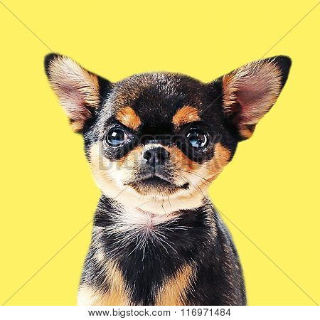 Cute chihuahua puppy on yellow background
