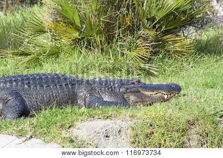 Crocodile Resting Quietly In The Grass Next To A Canal