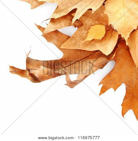 Drift of dry maple leaves on white background, close up