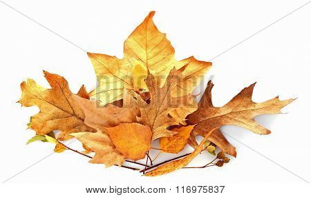 Drift of dry maple leaves, isolated on white