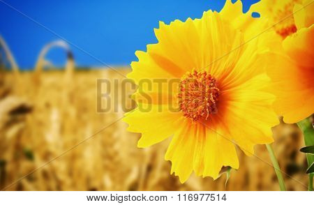 Beautiful wild flower on meadow, close up