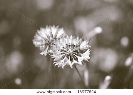 Cornflowers in the field, close up