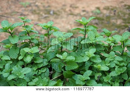 Close Up Thai Peppermint