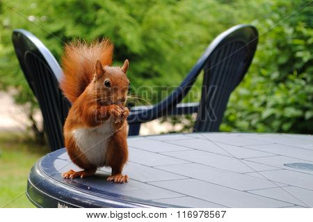 European red squirrel (Sciurus vulgaris) on a garden table