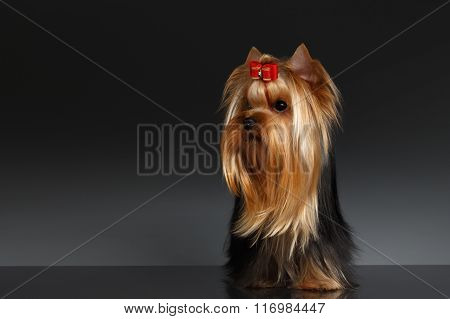 Yorkshire Terrier Dog Stands And Looking To Left On Black
