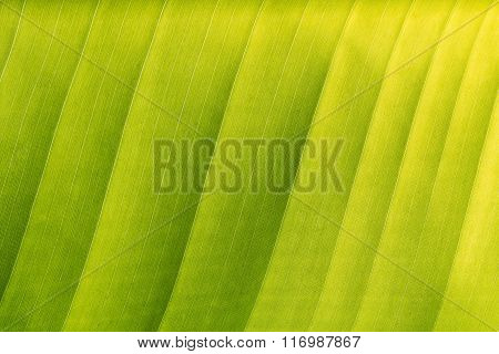 Abstract Of Green Banana Leaf Background, Texture (close Up)