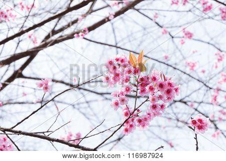 Wild Himalayan Cherry Or Prunus Cerasoides ( Sakura In Thailand ) - Heart Pink Flower