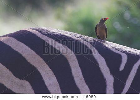 Redbilled Oxpecker On Zebra1